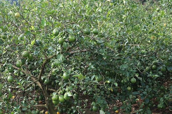 マイヤーレモン畑