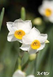 町の花「スイセン」