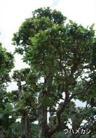 町の木「ウバメガシ」